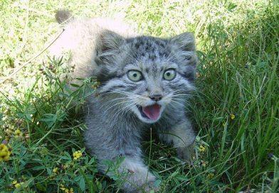 Nằm mơ thấy mèo rừng là điềm gì, đánh đề con gì chắc ăn nhất?